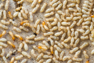 Termite Baiting May Prevent Colony Intrusion and Expansion