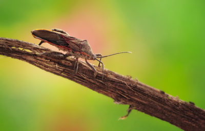 Stink Bugs Move In When the Weather Turns Cold