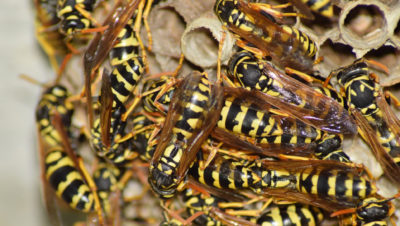 New Jersey Wasp Nest Identification Tips