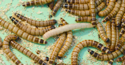 Mealworms and Other Pantry Pests