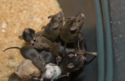 Brielle Homeowners – Keep Mice Away with Help from Allison Pest Control