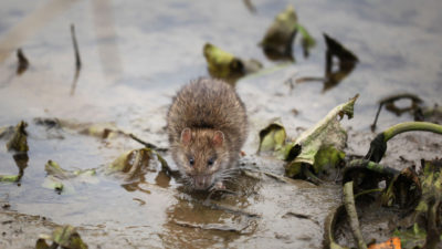 The Top Winter Pests in New Jersey: the House Mouse