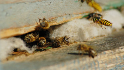 Stinging Insect's Queen Death Does Not Mean Death of the Hive or Nest