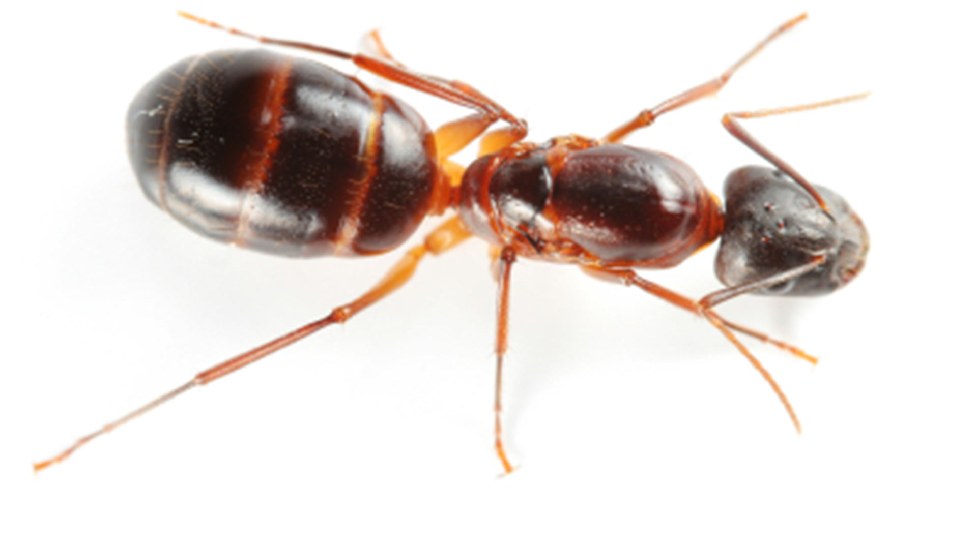 Carpenter ant identification, damage, and control