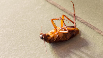 Virginia Tech Entomology Professor Finds Practical Solution for Cockroach Infestations