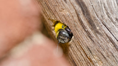 Bumble Bees Versus Carpenter Bees