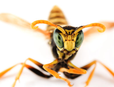 Types of Wasps Found in New Jersey