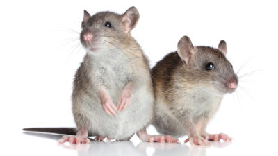 What Diseases Are Carried by New Jersey Mice?