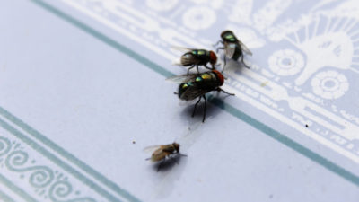 Flies are Dirtier Than Cockroaches in a Food Service Environment
