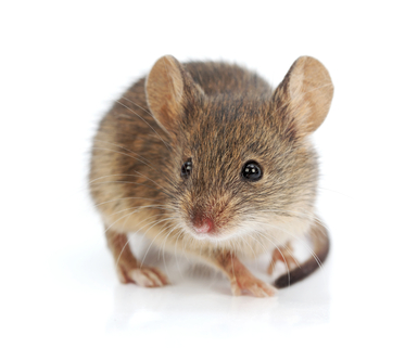 How Does the White Footed Mouse Differ from the House Mouse?