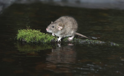 The CDC Report: Diseases Directly Transmitted by Mice and Other Rodents Part One