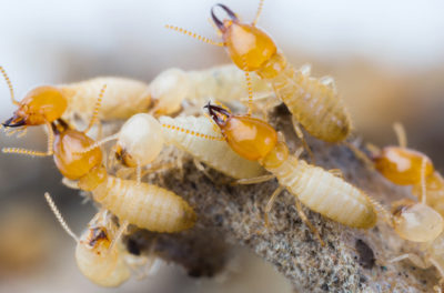 Termites, Do They Hibernate in the Winter?
