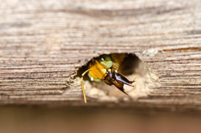 Carpenter Bees – Do They Have Stingers?