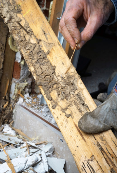 Subterranean Termites Are a Menace in Every State: What to Know About This Voracious Eater