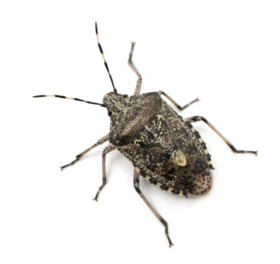 Stinkbugs Are the Bug You Don't Want to Squash
