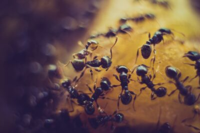 What to Know About the Carpenter Ant Life Cycle