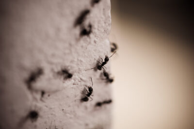 Nine Types of Ants That All Homeowners Hate