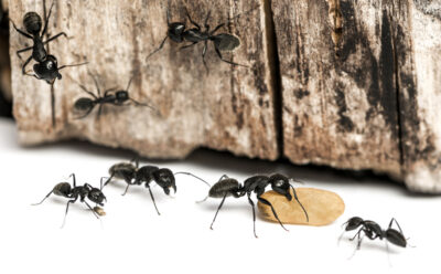 Carpenter Ants – Why Are They so Difficult to Exterminate?