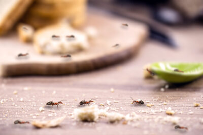 Play Detective When Noticing Ants In Your Home. Cut Off Their Scout Trails