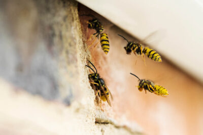 Is It a Yellow Jacket, Bee, or a Ground Dwelling Wasp? Here's the Difference