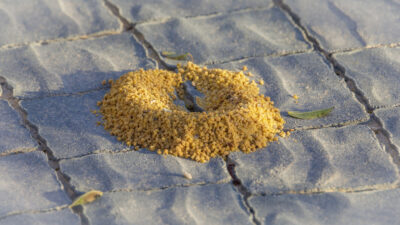 When Is the Best Time of Day to Apply Insecticide to Ant Mounds and Problem Areas?