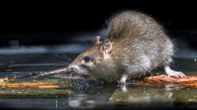 Five Facts on New Jersey Rats You Didn't Know