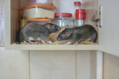 5 Things That You May Not Know That Attract Rats