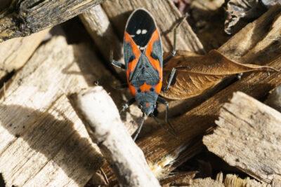 How To Identify a Boxelder Bug – Three Unique Traits